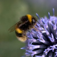 Bumblebee Conservation Trust (2)